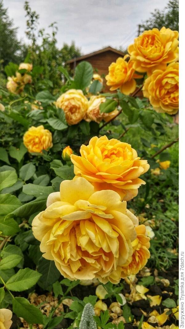 Роза Golden Celebration от Austin.