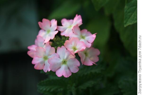Еще какой то цветочек , может быть вербена?