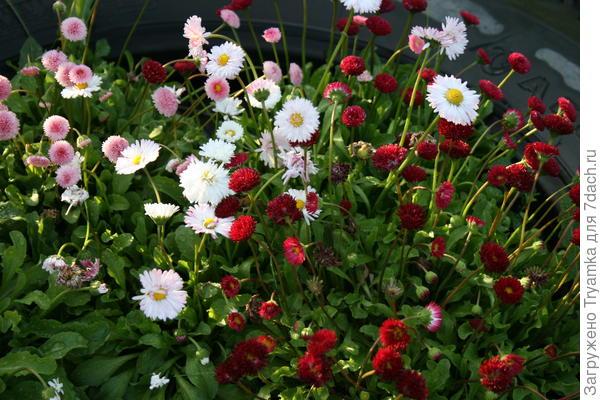 Маргаритки цветут.