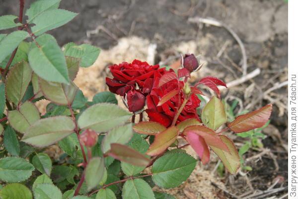 Самая первая роза - мини.