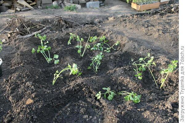 Рассада сельдерея корневого переехала в пмж в грунт.