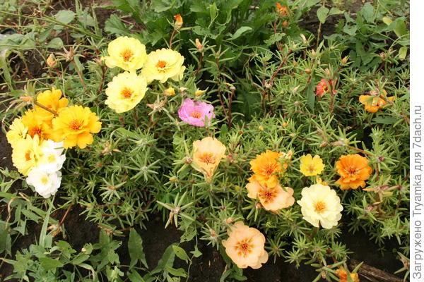 Портулак, выращивала рассадой, но успевает и при прямом посеве в грунт зацвести и дать семена.