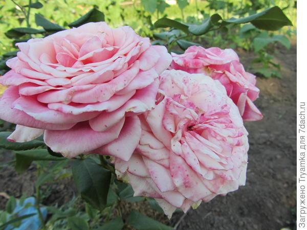 Еще розы.