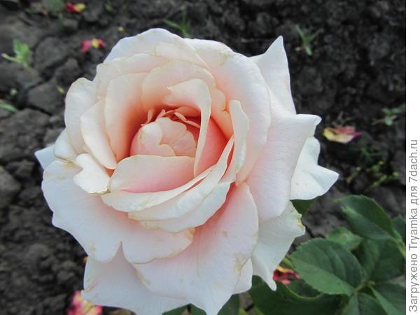Розы прижились цвели.