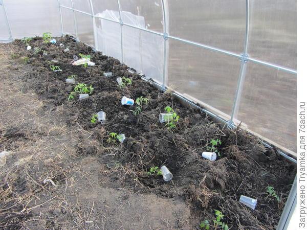 Высаживаю рассаду томатов справой стороны, слева будут перцы и баклажаны.