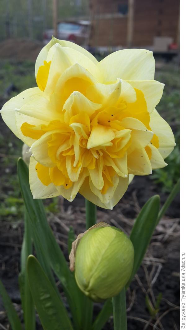 Махровые нарциссы. Оказалось, что нарциссы поворачивают свои цветы на юг, поэтому их нужно садить так чтобы они к вам были лицом, а не макушкой =))) как вышло у меня ))