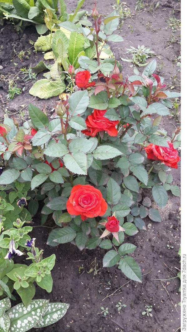 Розы миниатюрная. Муж подарил на 8 марта в горшочке, несколько лет прожила в открытом грунте, не укрывала ее даже.