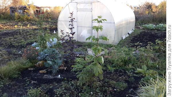 Высадила пузыреплодник, бузину, дерен чтобы они когда разрастутся закрыли теплицу и создали зеленый забор.