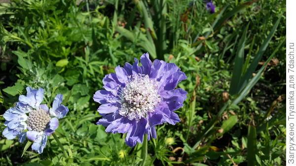 """Скабиоза """"Загадка"""", один из удачных экспериментов с семенами цветов. До сих пор по всему участку растут и цветут, очень мне нравится."""