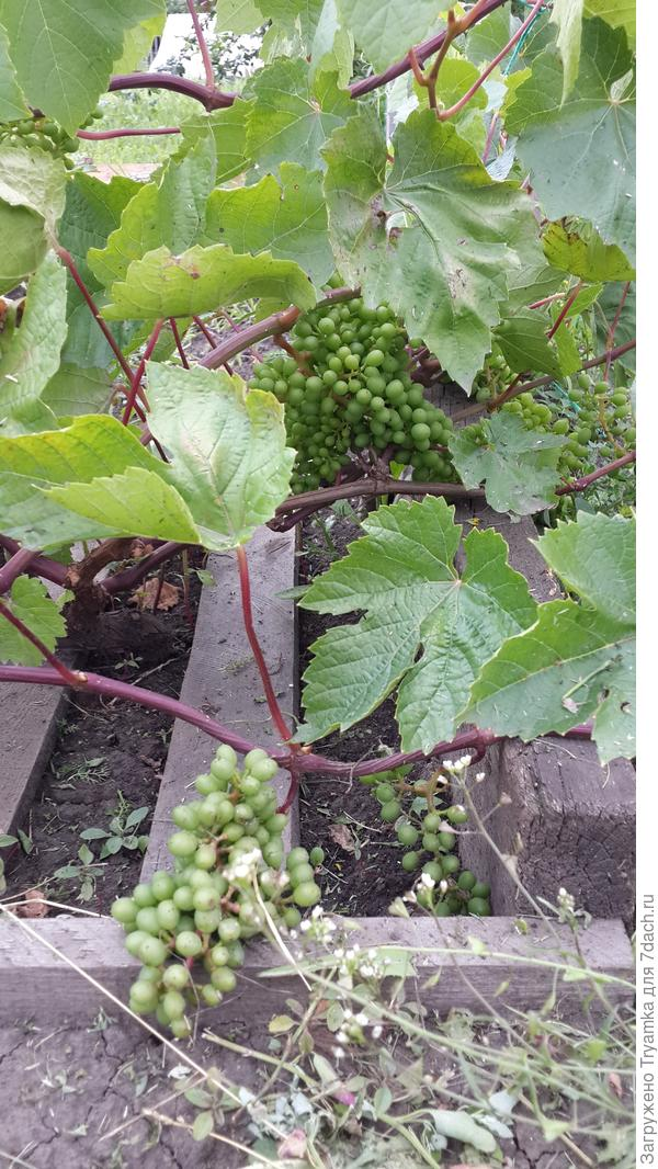 Виноград в 2015г. завязал ягодки.