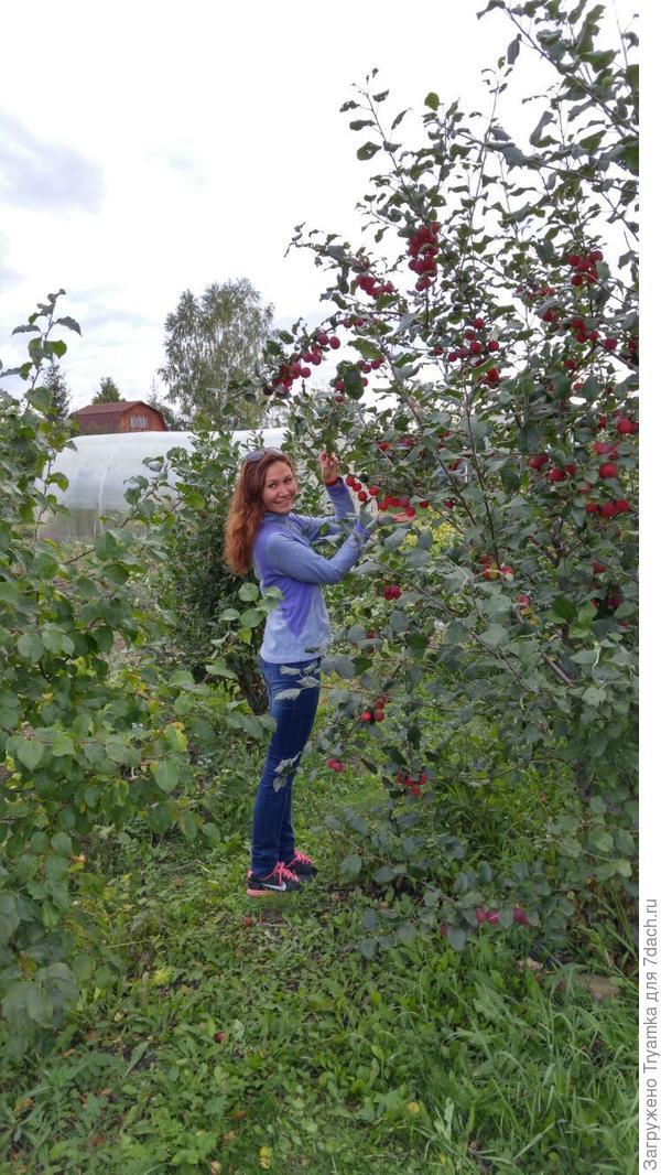 Та самая яблоня которая делит участок пополам, на сад и огород ))