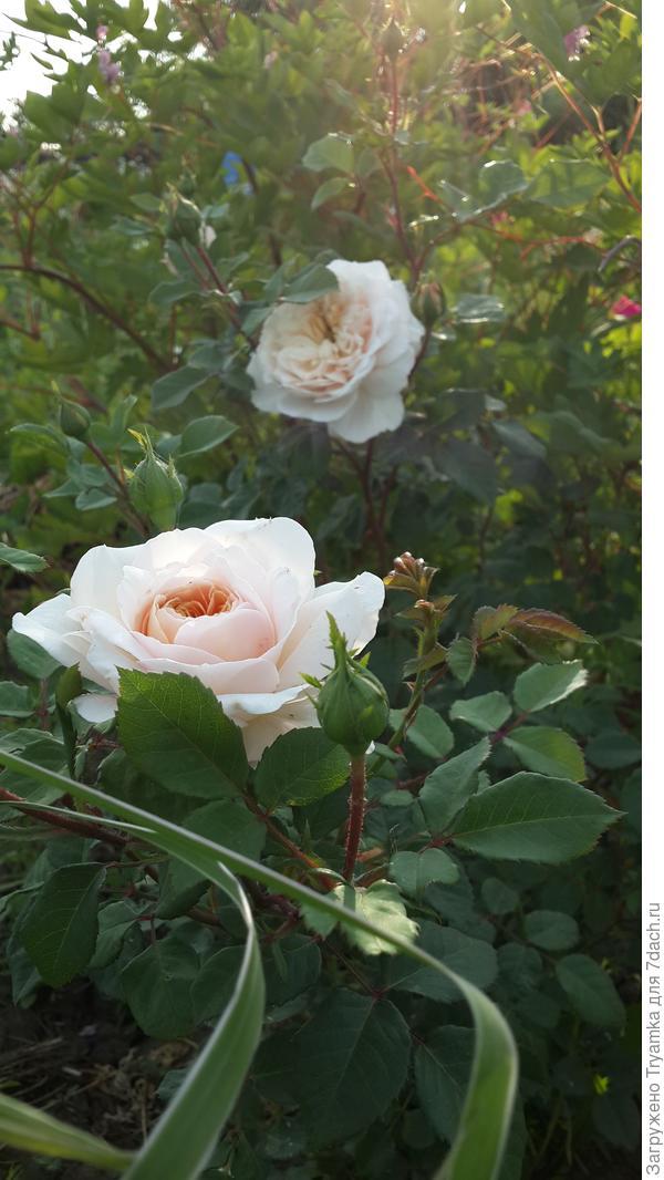 Крокус Роуз.