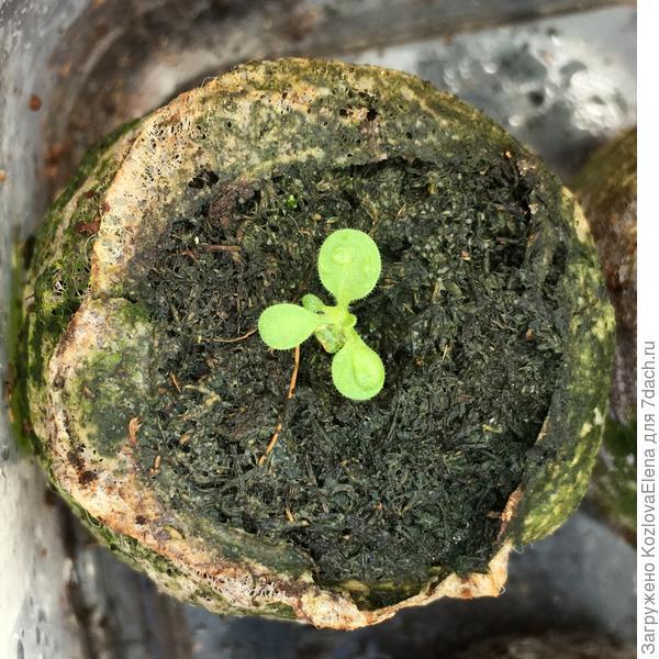 30.03.18. Растения при посеве в таблетки