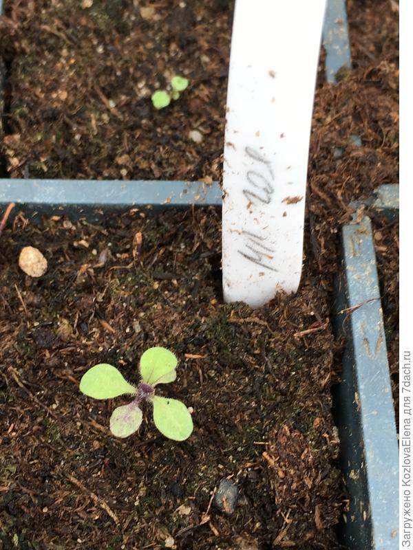 30.03.18. Растения при посеве в грунт. Развитие заметно отстает, по сравнению с другими сериями.