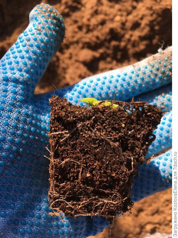 Развитие корневой системы растений при посеве семян в торфяной грунт.