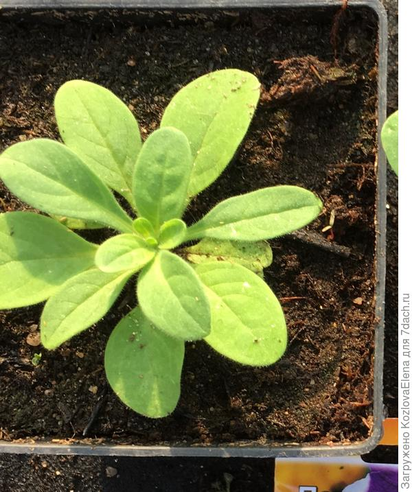 Развитие растений при посеве семян в торфяной грунт (50 день от посева, 16.04.2018), до прищипки