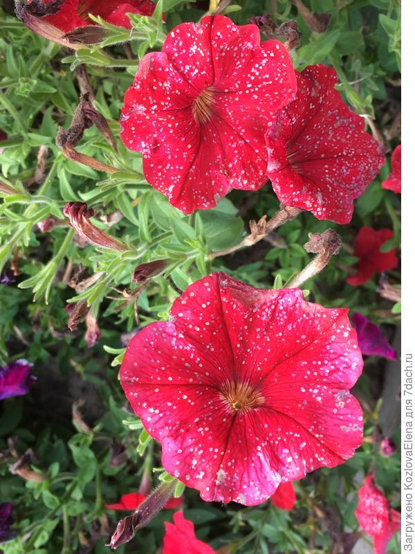 Пятна на цветках - серая гниль