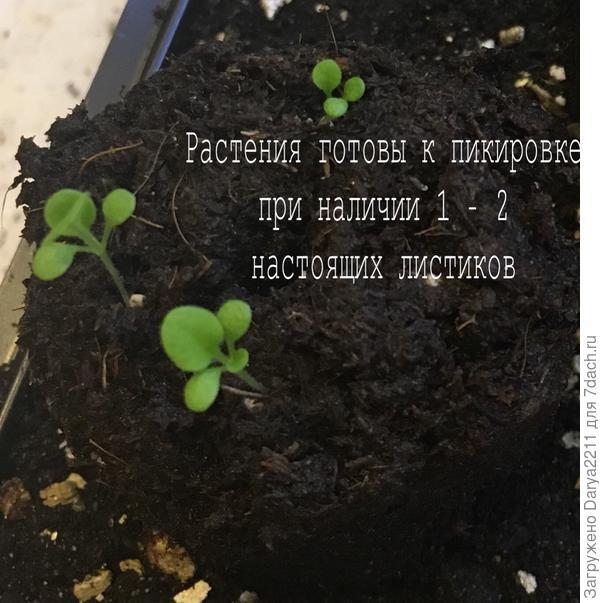 растения готовы к пикировке