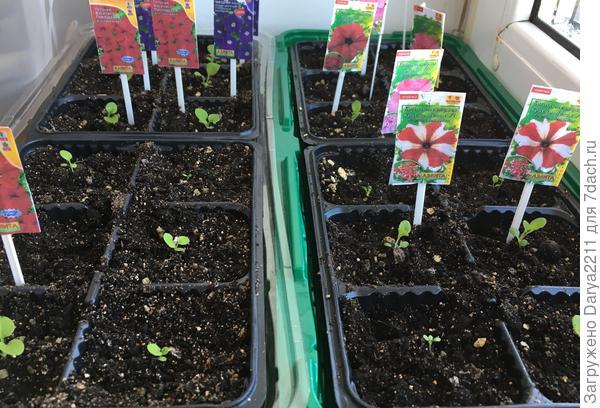 распикированные растения на окне