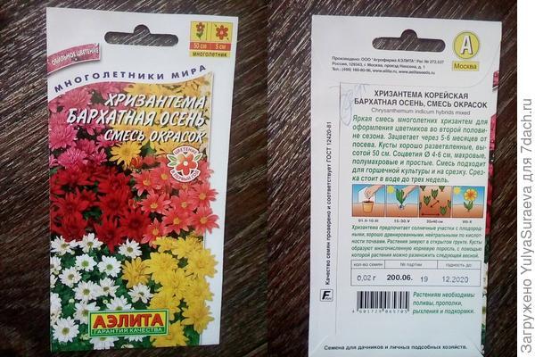 Корейская хризантема,которая зимует в Челябинске