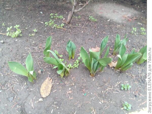 А так уже вылезли тюльпаны