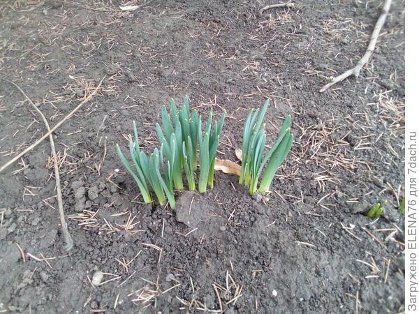 И нарциссы. У нас весна такая....... разная и не знаешь, что будет через час.