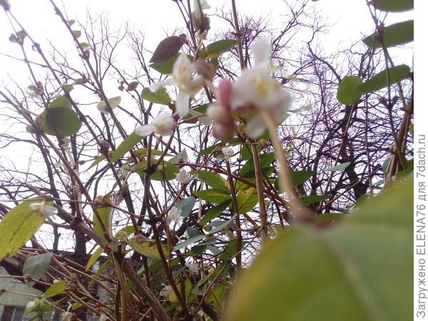 А это цветущий куст 22 февраля