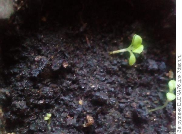 Нижний росток погиб