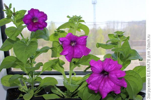 Первое цветение через два месяца после появления первых всходов