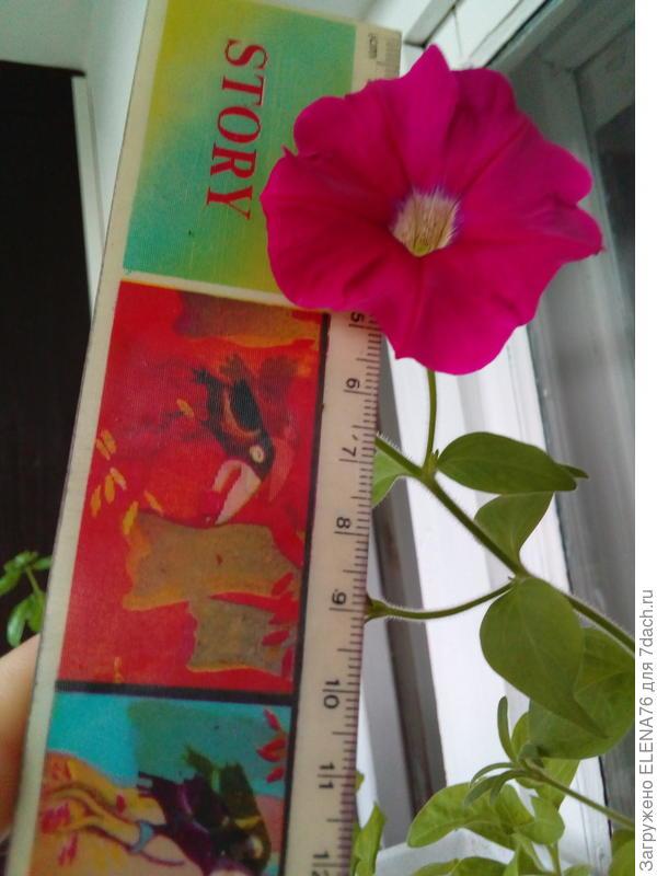 Цветки мелкие до 5 см в диаметре на протяжении всего периода цветения