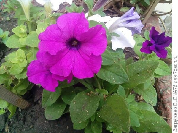 07.06 начало цветения Марко Поло лиловой  в горшке на даче