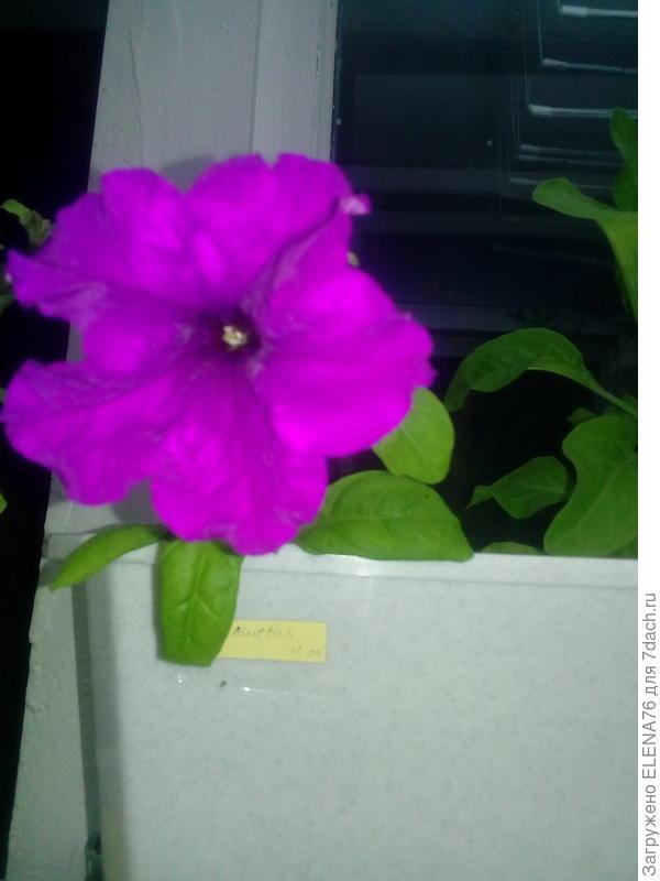 21.05 первое цветение Марко Поло лиловой на лоджии