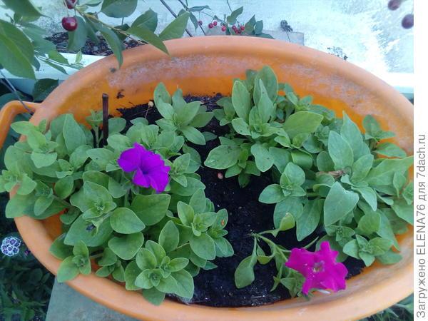 27.05 начало цветения Марко Поло лиловой в емкости на даче