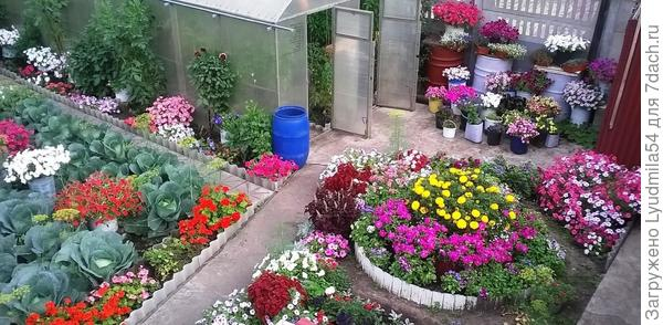 Мои цветы. Любимицы - петунии