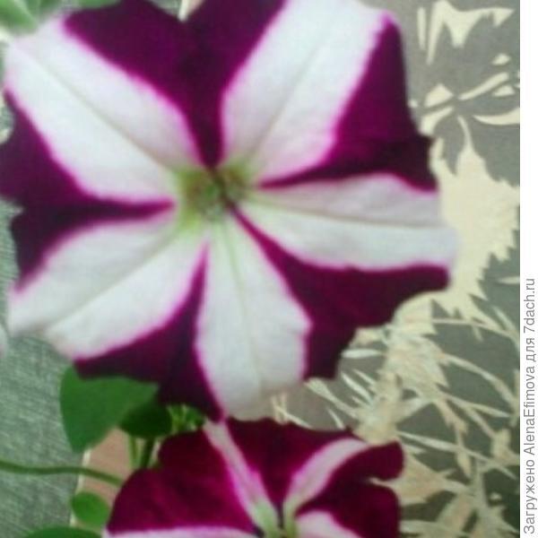 Петуния Ампельная Лавина пурпурная звезда