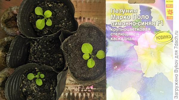 Растения после пикировки 14.04.2018 г.
