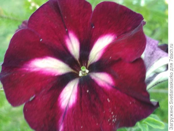 Вегетативная петуния