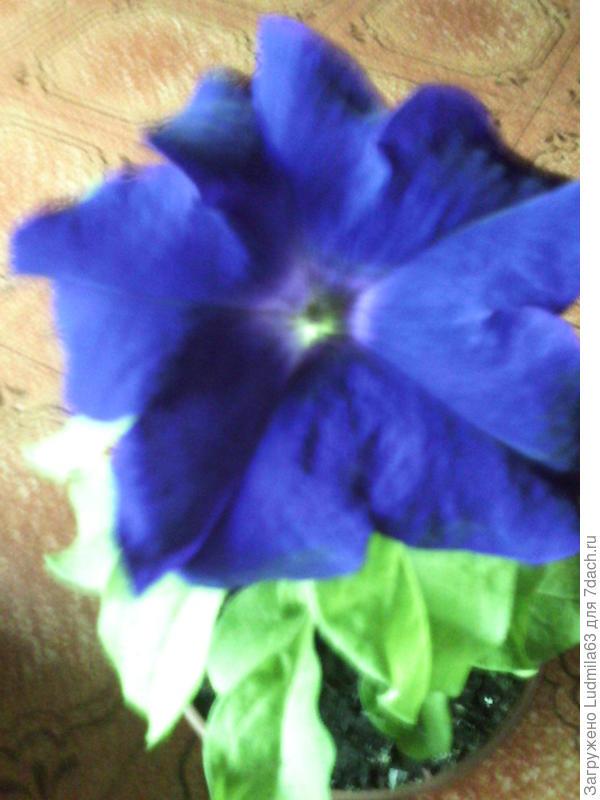 Моя красавица Марко Поло, лимонно-синяя