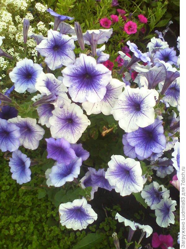 Цветение в цветнике