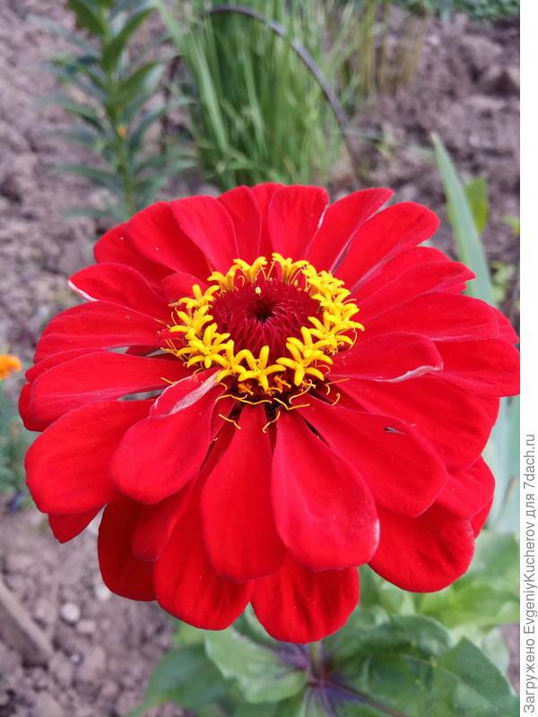 циния! в этом году надо пораньше посеять семена! в прошлом году задержали немного, и совсем мало любовались её разноцветными нарядами.