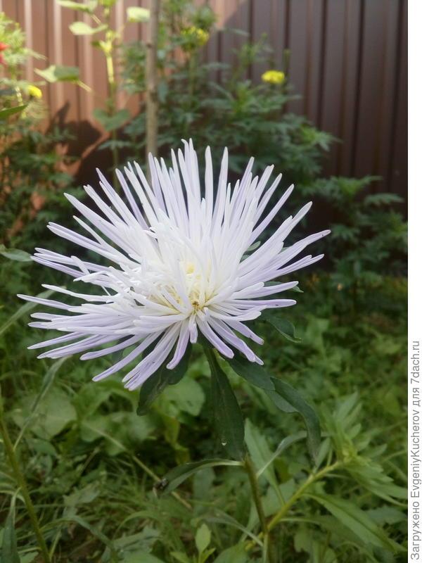 Астра игольчатая! Сейчас такое разнообразие цветов и форм, что порой и не догадаешься, что это за цветок?!