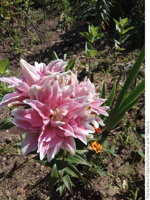 красотка лилия