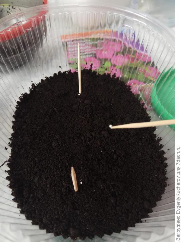 предполагал, что зубочистки помогут мне определить, где находятся семена после того, как растает снег. Не пригодилось! Через некоторое время местоположение семян хорошо  было видно