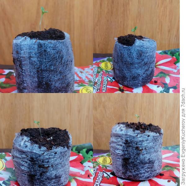 Два растения углубил в торфотаблетках