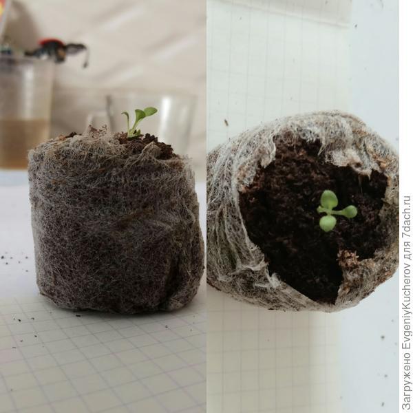 растение4