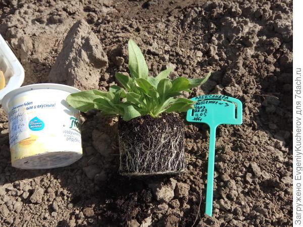 растение3