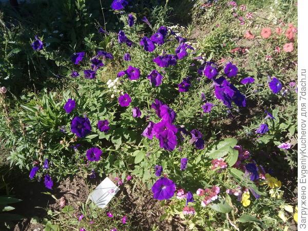 петуния-растение 1