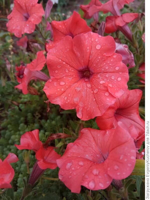 Петуния Аморе мио оранжевая F1 с ароматом жасмина. После дождя.