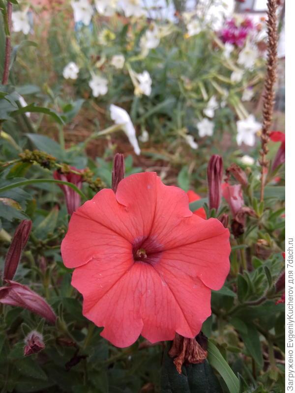 Петуния Аморе мио оранжевая F1 с ароматом жасмина