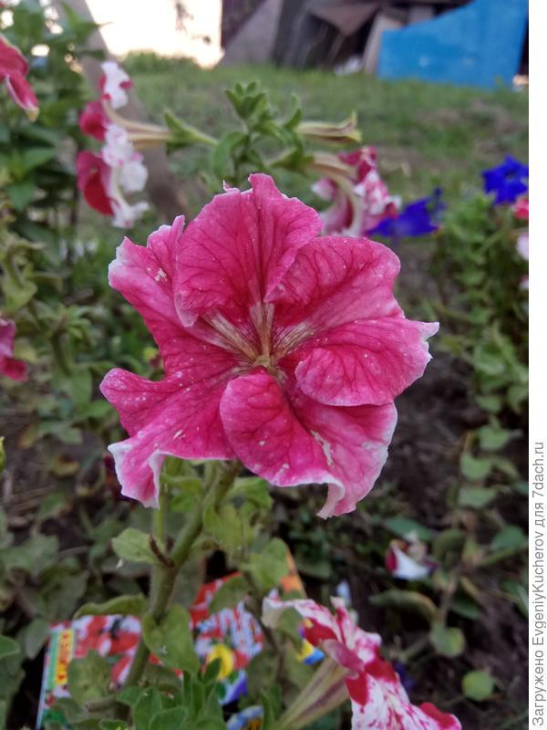 Интересный по окраске цветок. Петуния Марко Поло красно-белая F1 .